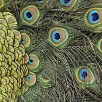 Peacock Macro by Laura Mountainspring