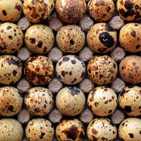 Japanese Quail Eggs by Laura Mountainspring