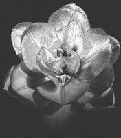 Double Tulip - Black And White Photography