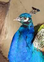 Peacock02 by Anne Harai