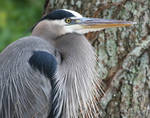 great blue heron close