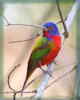 Painted Bunting male painted