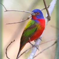 """""""Painted Bunting male painted"""" by nancielaing"""