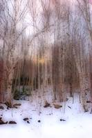 Wintry forest - haze 1