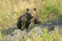 Grizzly Cub 1