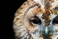 Portrait of a Tawny Owl