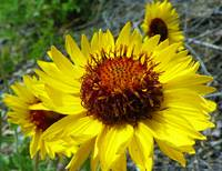 Botanical - Clasping Arnica - Outdoors Floral