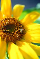 Sunflower and Bee 1