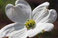 Dogwood Flower @ Natural Bridge, VA