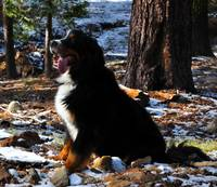 Bernese Mountain Dog in California Winter Forest