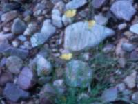 Desert Pin-Hole Flowers and Rocks