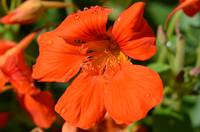 Orange Nasturtium Bloom