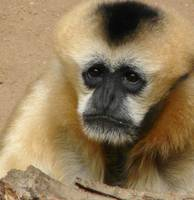 Gibbon, Bronx Zoo