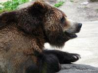 Bear, Bronx Zoo