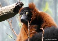 Red Ruffed Lemur, Bronx Zoo