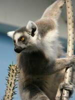 Ring Tailed Lemur, Bronx Zoo