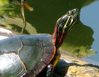 sun painted turtle