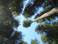 Redwood Trees Fine Art Prints Blue Sky Holidays