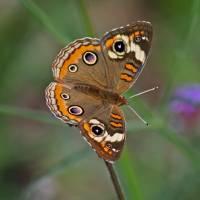 Butterfly  Buckeye with Green background by Karen Adams