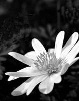 Spring bloom in B&W