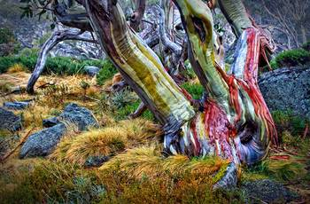 Snow Gum By Julienne Bowser
