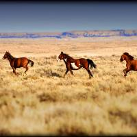 Sand Wash Basin Wild Mustangs by Jim Westin