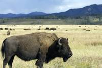 Buffalo in Teton National Park