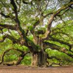 """Angel Oak Tree Charleston SC ""Omnipotent"""" by DustinKRyan"