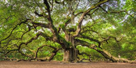 Angel Oak Tree Charleston SC