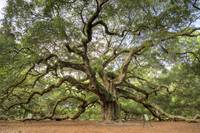 Angel Oak Tree Johns Island SC