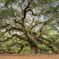 """Angel Oak Tree Johns Island SC"" by DustinKRyan"