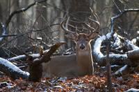 Bedded Buck Deer by Daniel Teetor