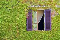 Ivy Covered Window of Tuscany