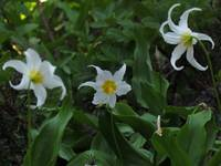 Avalanche Lilies