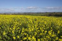 Mustard fields in spring