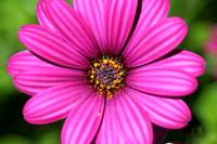 Nairobi Purple Daisy
