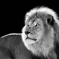 Male Lion Art Prints & Posters by Stu Porter