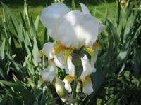 White Iris in Shadow