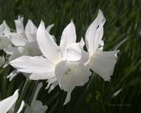 White Thalia Daffodil Flower Photograph
