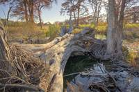 Texas Hill Country Autumn: Fallen Tree