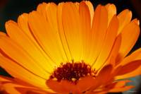 Inside the Calendula...