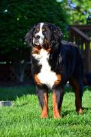 Bernese Mountain Dog Yogi