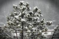 Snow Capped Tree