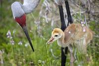Sandhill Crane Parent and Colt