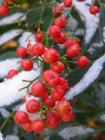 Botanical - Red Berries - Outdoors Beauty