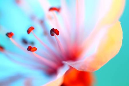 Macro Flower Photography: Soft and Elegant White Red and Blue Lily