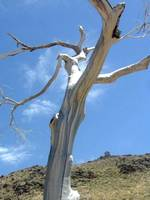 Majestic Dead Cottonwood