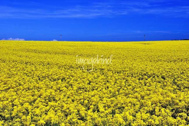 Yellow, Summer Field in Yorkshire
