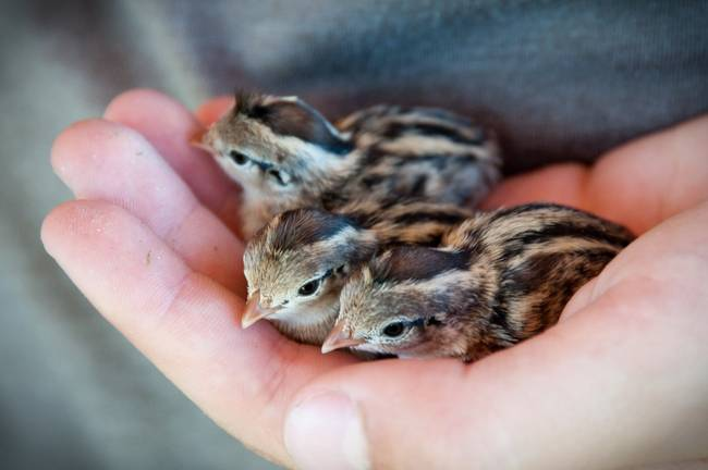 Three Baby Quail In Hands By Amber Watson Williams