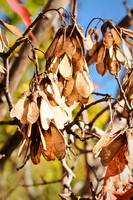 Maple Tree Seeds Hang From Tree in Fall